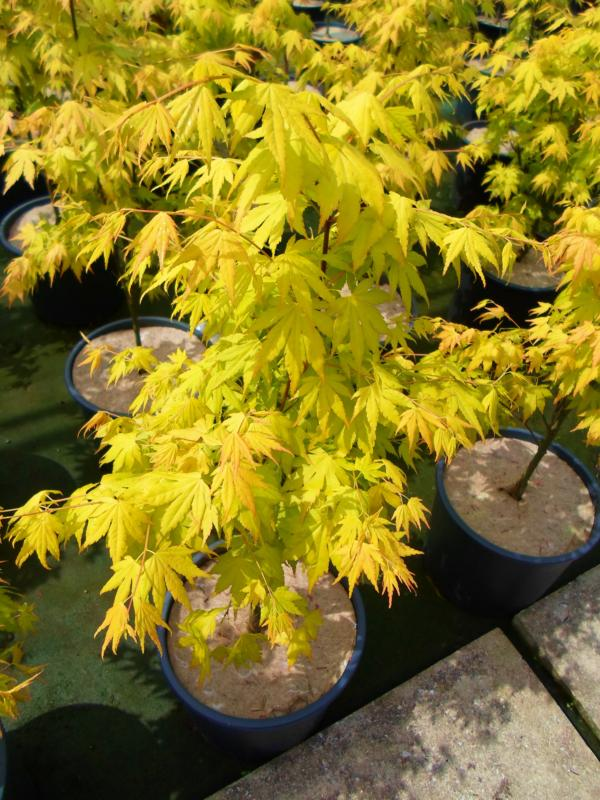 Acer-du-Japon palmatum 'Orange Dream'