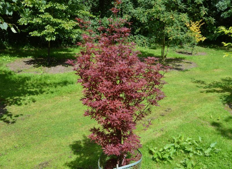 Acer-du-Japon palmatum 'Skeeter's Broom'