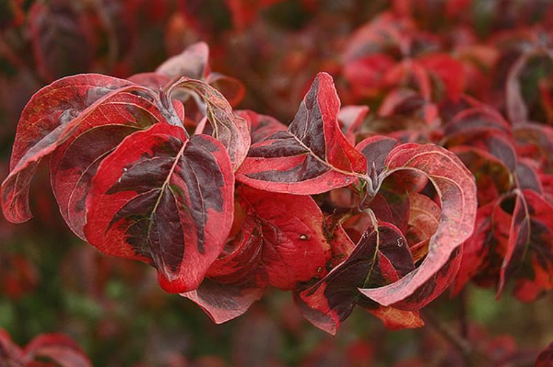 Cornus florida 'Red Sunset'