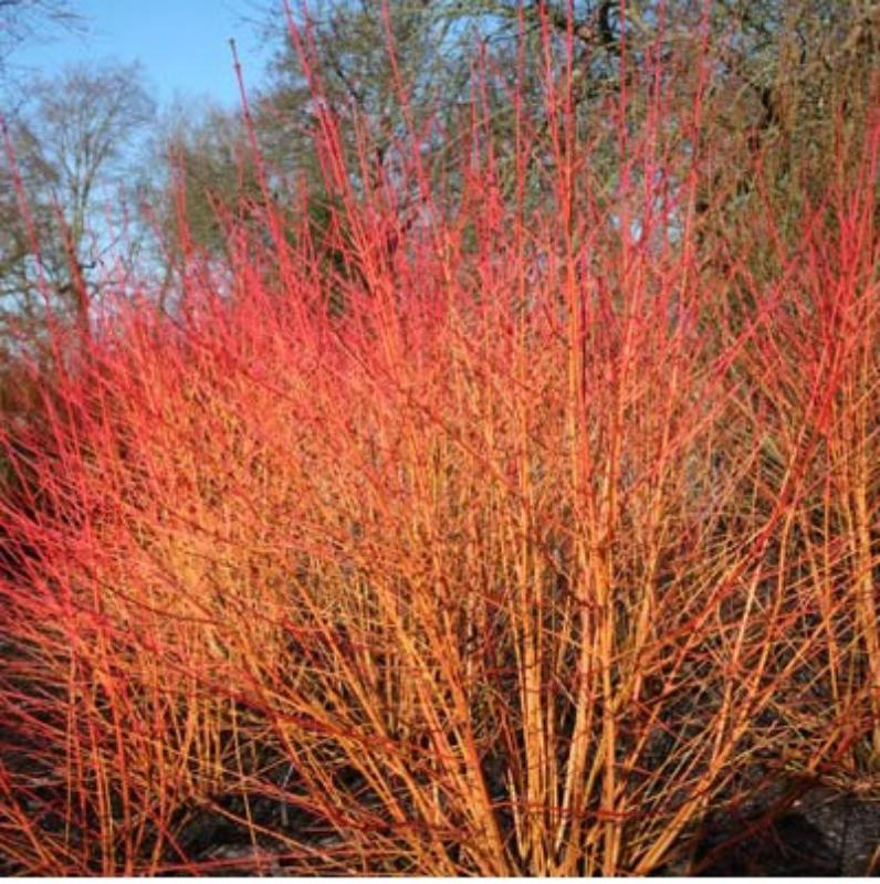 Cornus sanguinea 'Magic Flame'