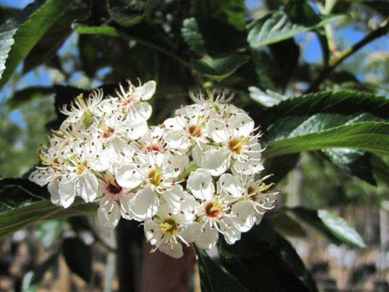 Crataegus lavallei 'Carrieri'