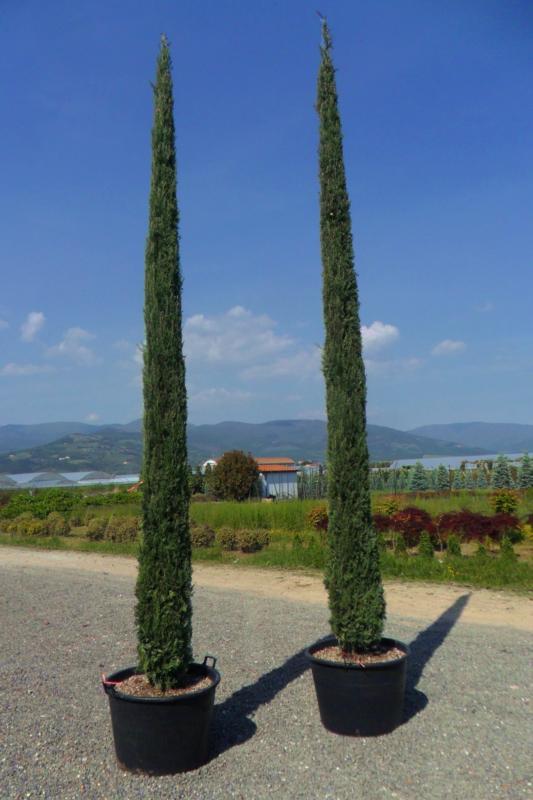 Zini piante vivai piante pepinieres baumschuler nurseries - Cypres d italie totem ...