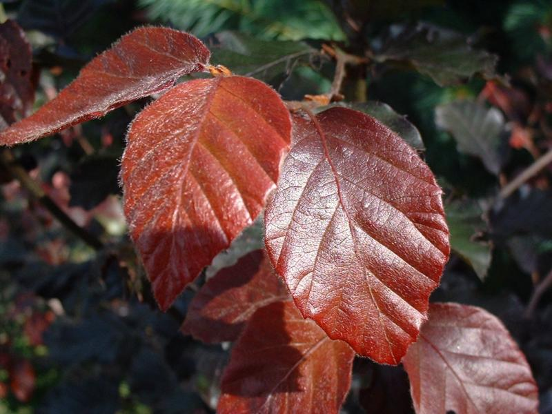 Fagus sylvatica 'Riversii' (Purpurea major)