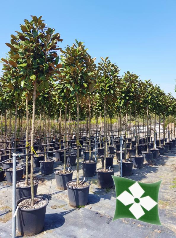 Zini piante vivai piante pepinieres baumschuler nurseries pistoia - Arbre d ornement feuillage persistant ...
